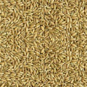 grain-triticale