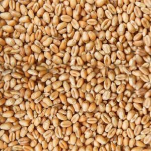 grain-wheat